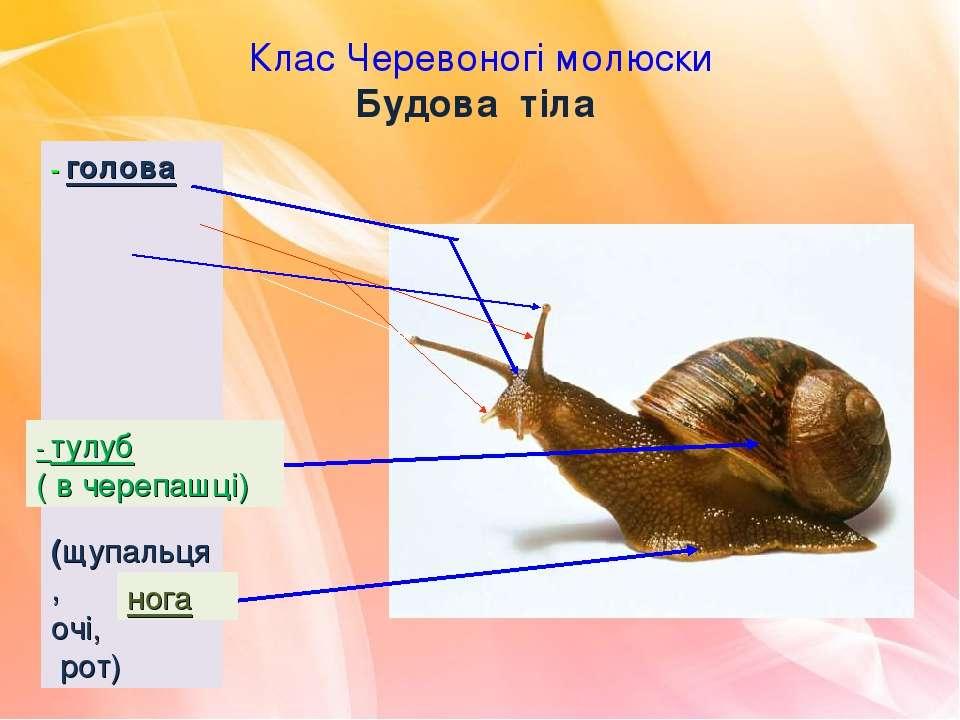 Клас Черевоногі молюски Будова тіла - голова (щупальця, очі, рот) - тулуб ( в...