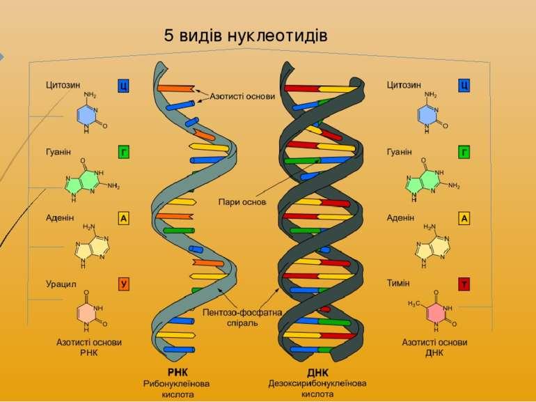 5 видів нуклеотидів