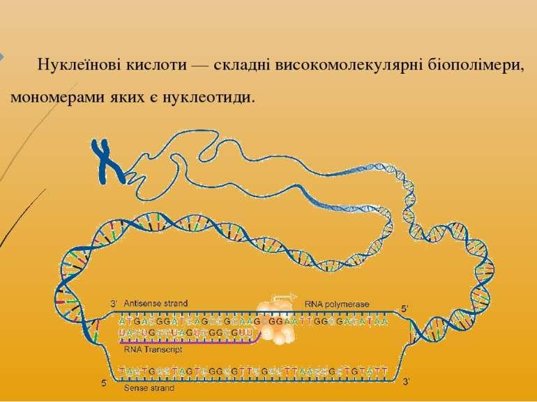 Нуклеїнові кислоти— складні високомолекулярні біополімери, мономерами яких є...