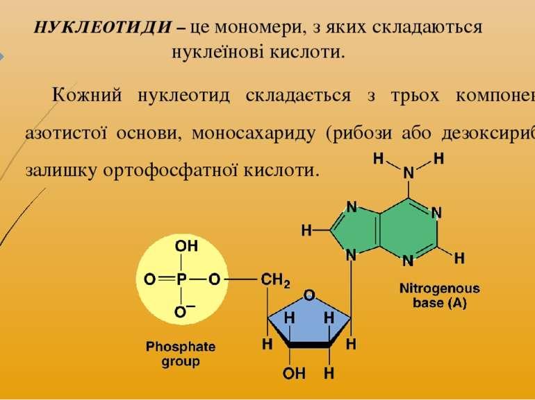 Кожний нуклеотид складається з трьох компонентів – азотистої основи, моносаха...