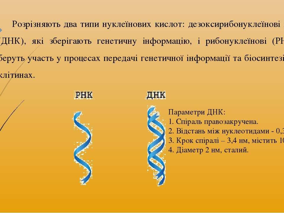 Розрізняють два типи нуклеїнових кислот: дезоксирибонуклеїнові кислоти (ДНК),...