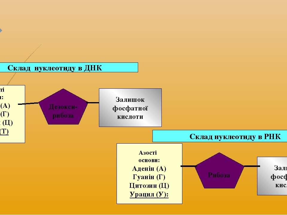 Склад нуклеотиду в ДНК Азотисті основи: Аденін (А) Гуанін (Г) Цитозин (Ц) Тим...