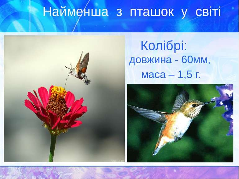 Найменша з пташок у світі Колібрі: довжина - 60мм, маса – 1,5 г.