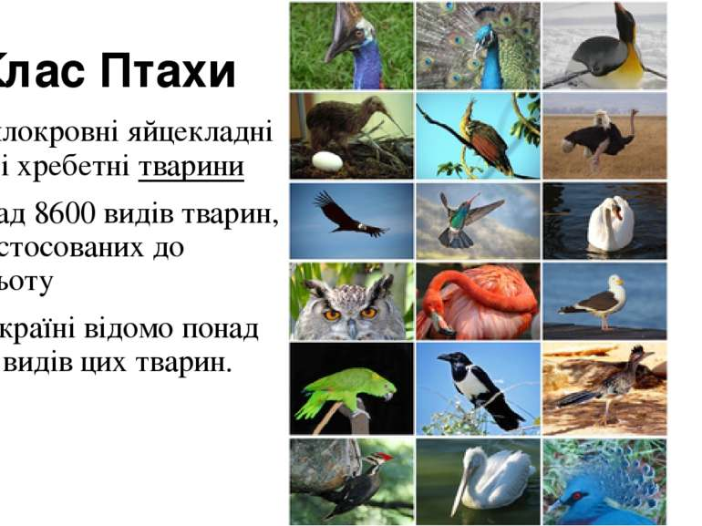 Клас Птахи теплокровніяйцекладнівищіхребетнітварини понад 8600 видів тва...