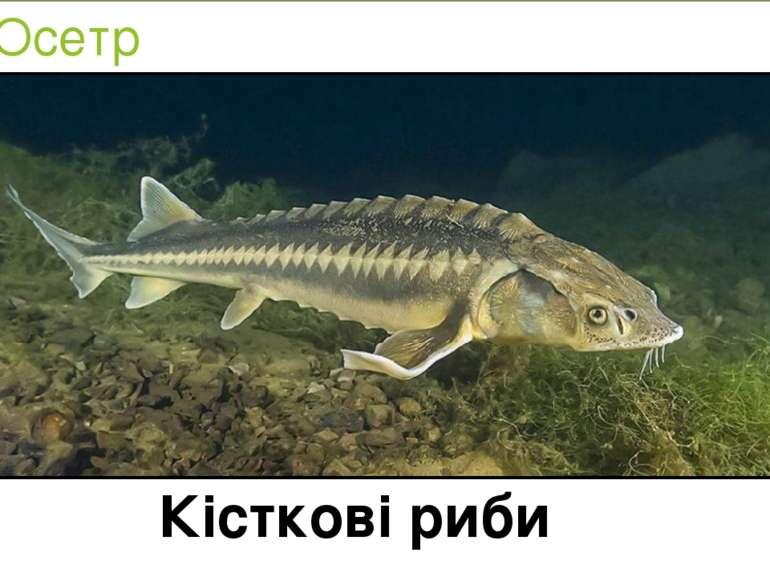 Осетр Кісткові риби