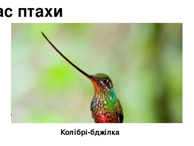 Клас птахи Колібрі-бджілка