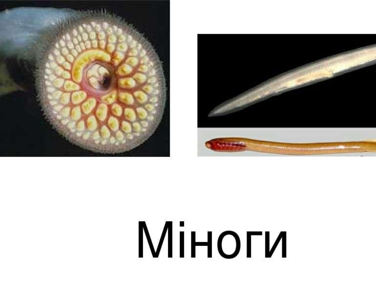 Міноги