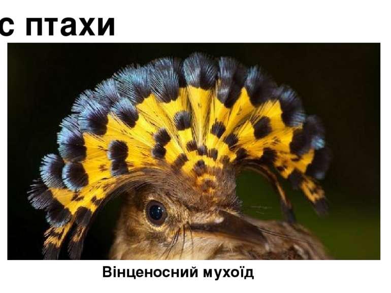 Клас птахи Вінценосний мухоїд