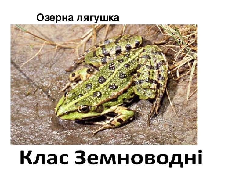 Озерна лягушка