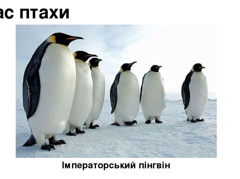 Клас птахи Імператорський пінгвін