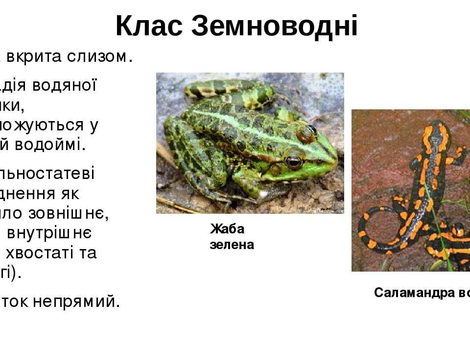 Клас Земноводні Шкіра вкрита слизом. Є стадія водяної личинки, розмножуються ...