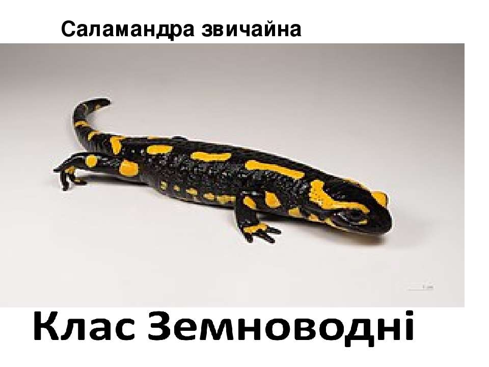 Саламандра звичайна