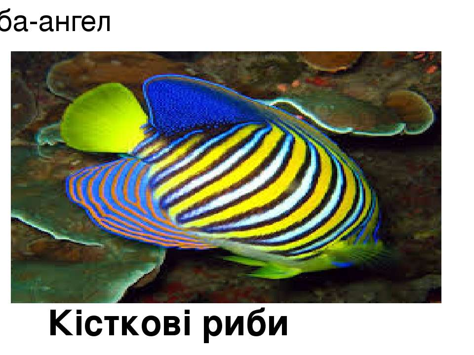 Риба-ангел Кісткові риби