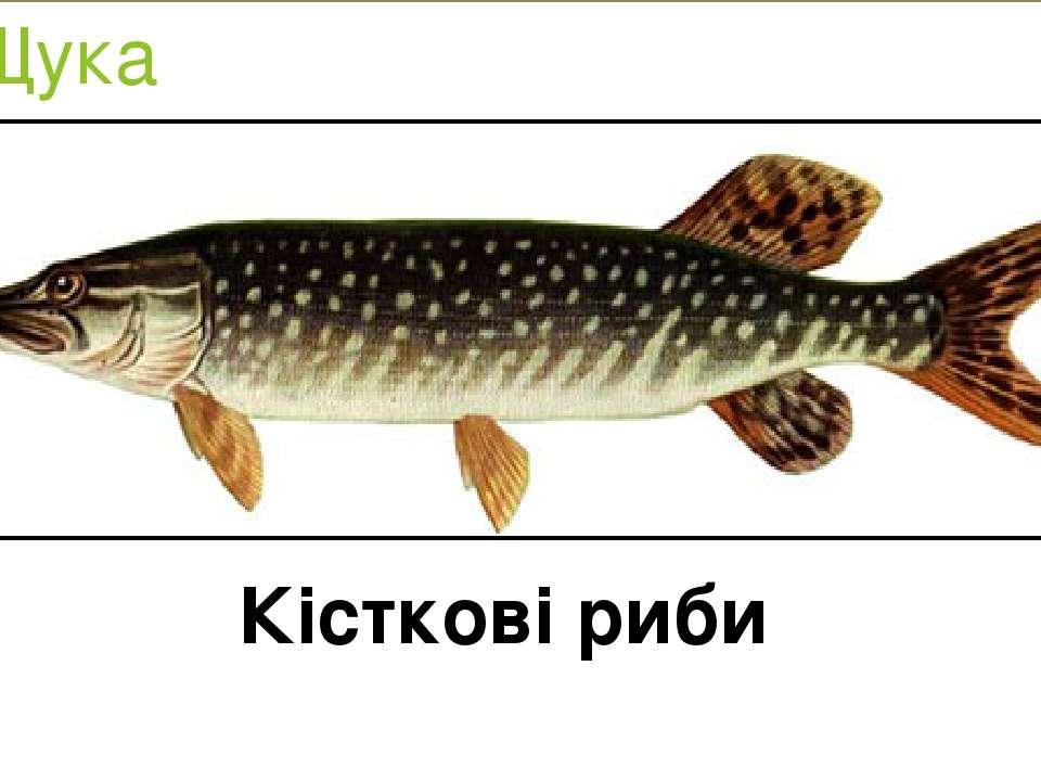 Щука Кісткові риби