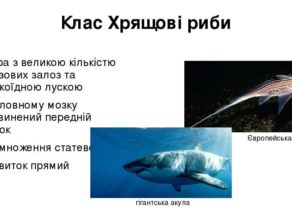 Клас Хрящові риби шкіра з великою кількістю слизових залоз та плакоїдною луск...
