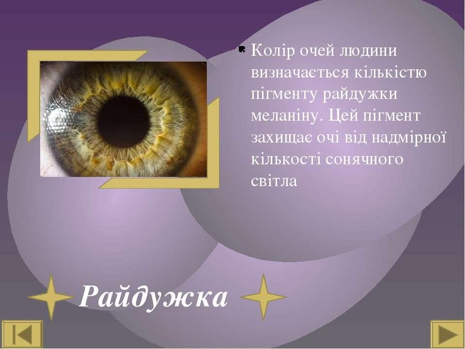Райдужка Колір очей людини визначається кількістю пігменту райдужки меланіну....