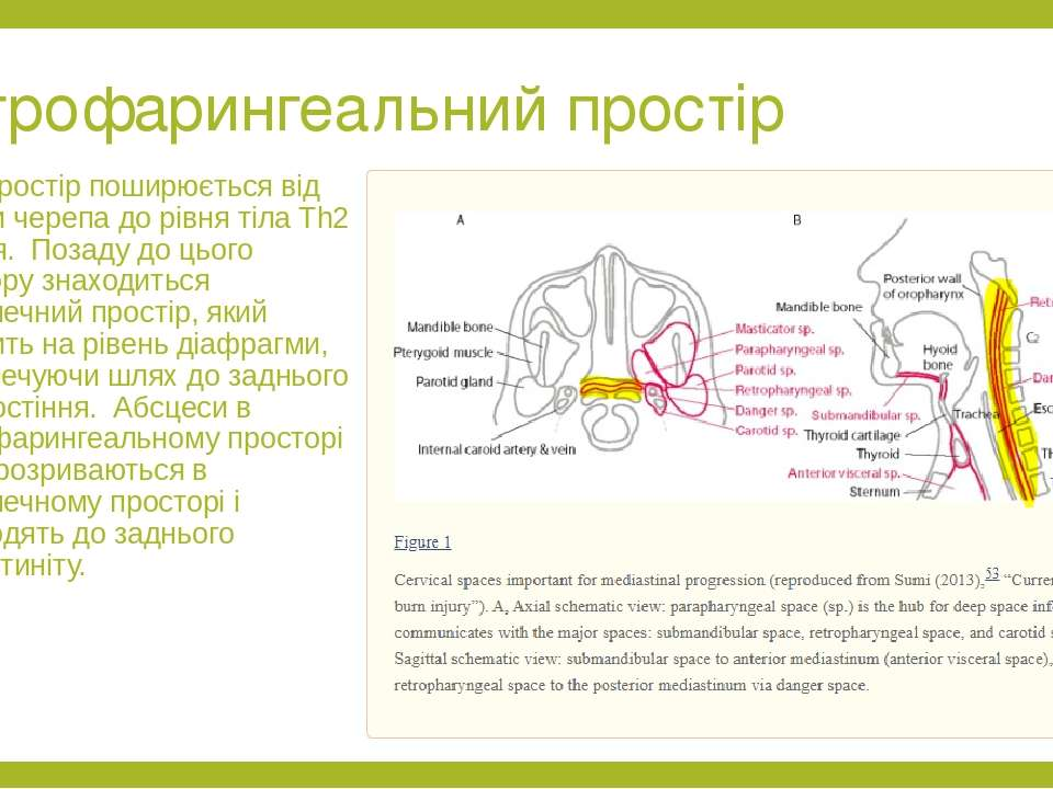 Ретрофарингеальний простір Цей простір поширюється від основи черепа до рівня...
