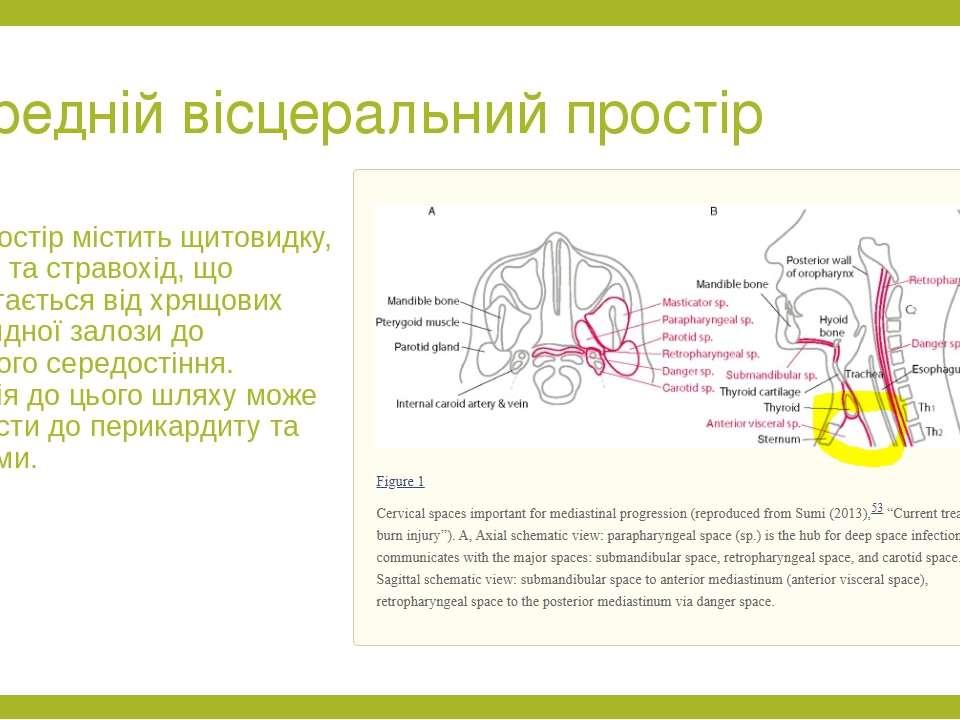 Передній вісцеральний простір Цей простір містить щитовидку, трахею та страво...