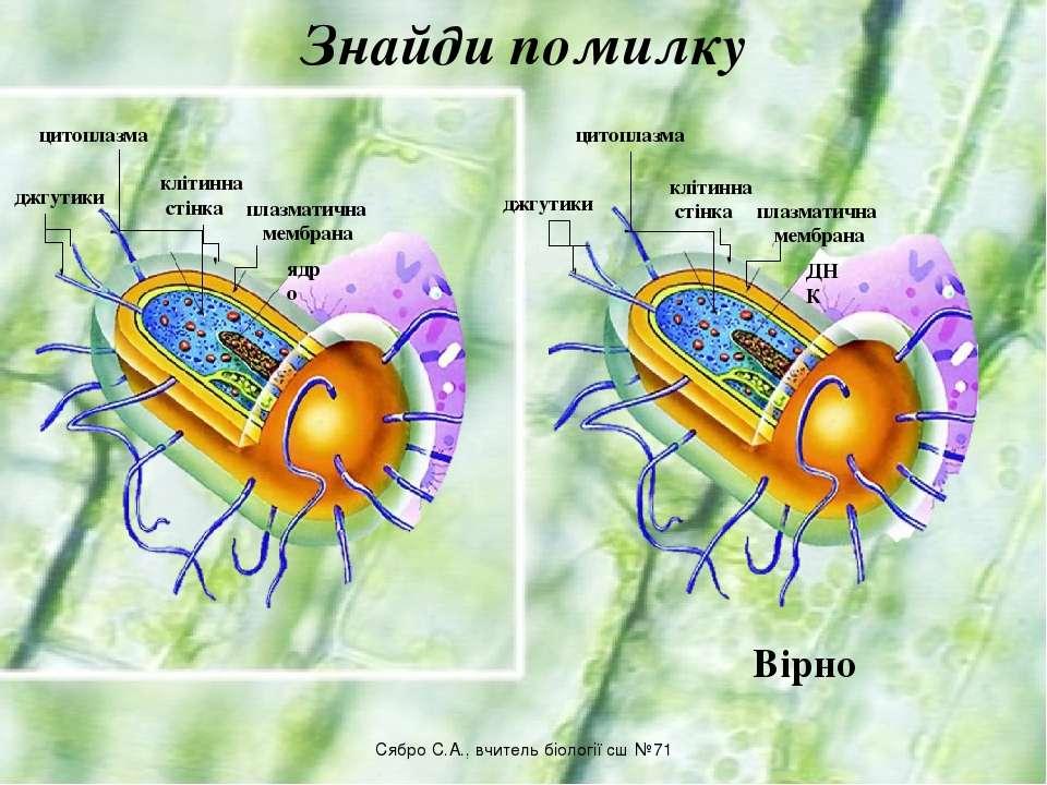 Знайди помилку джгутики цитоплазма ядро плазматична мембрана клітинна стінка ...