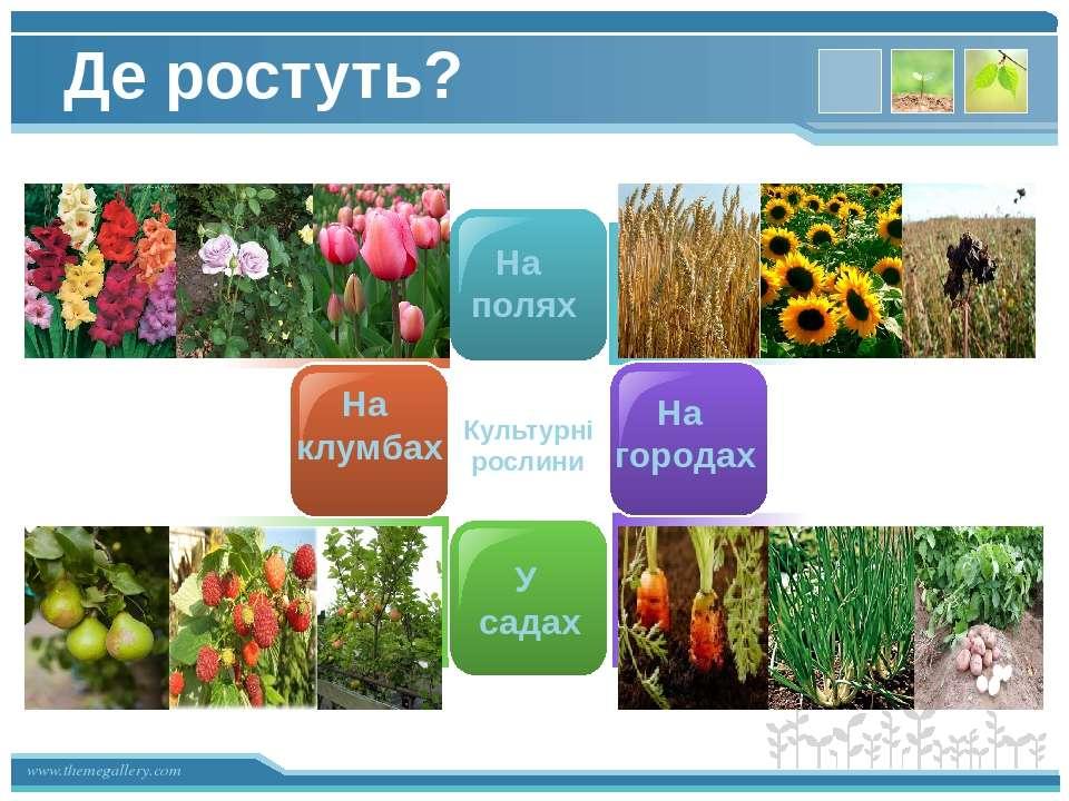 На полях У садах На городах На клумбах Культурні рослини Де ростуть? www.them...