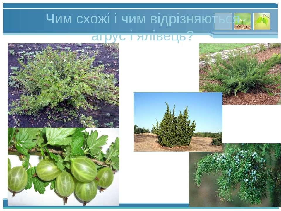 Чим схожі і чим відрізняються агрус і ялівець? www.themegallery.com