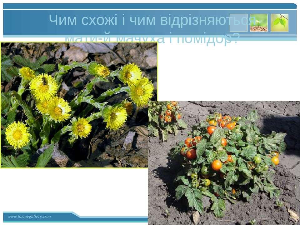 Чим схожі і чим відрізняються мати-й мачуха і помідор? www.themegallery.com