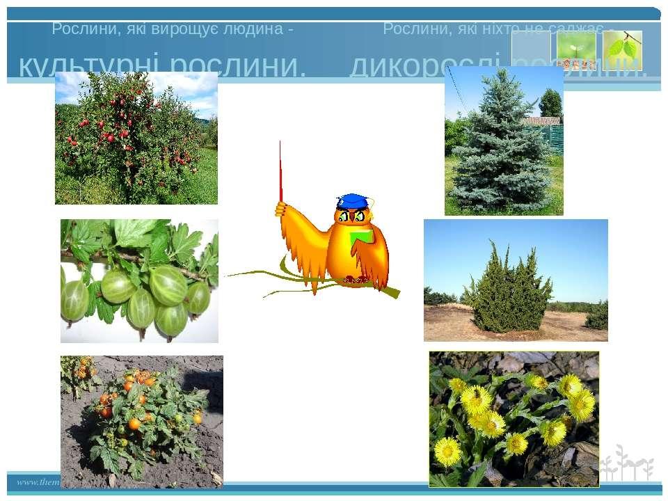 Рослини, які вирощує людина - культурні рослини. дикорослі рослини. Рослини, ...