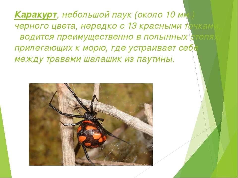 Каракурт, небольшой паук (около 10 мм.) черного цвета, нередко с 13 красными ...
