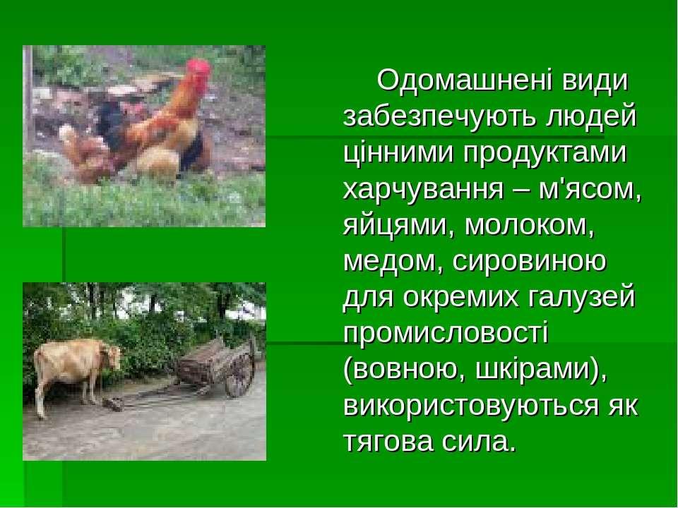 Одомашнені види забезпечують людей цінними продуктами харчування – м'ясом, яй...