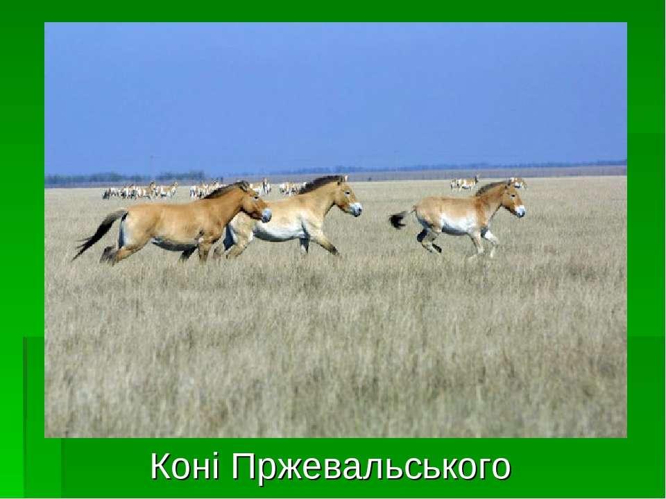 Коні Пржевальського