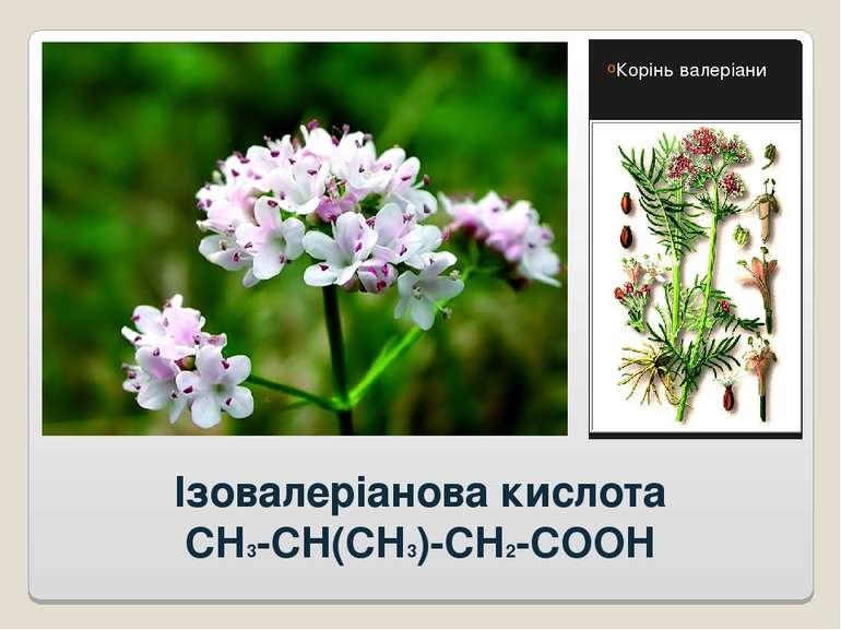 Ізовалеріанова кислота CH3-CH(CH3)-CH2-COOH Корінь валеріани