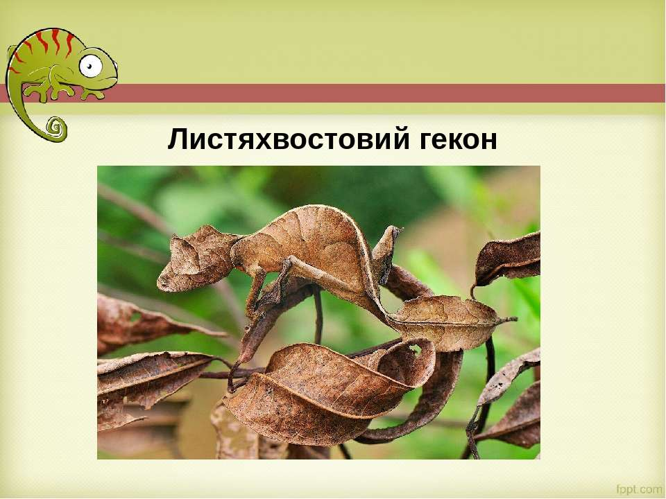 Листяхвостовий гекон
