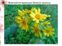 Жовтозілля кримське Senecio tauricus Konechn.