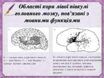 Області кори лівої півкулі головного мозку, пов'язані з мовними функціями А —...