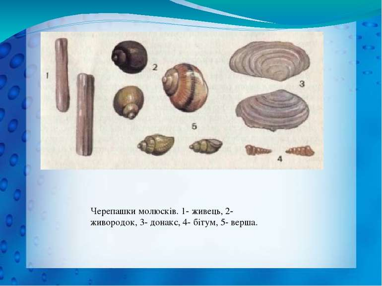 Черепашки молюсків. 1- живець, 2- живородок, 3- донакс, 4- бітум, 5- верша.