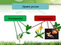 Органи рослин Вегетативні Генеративні