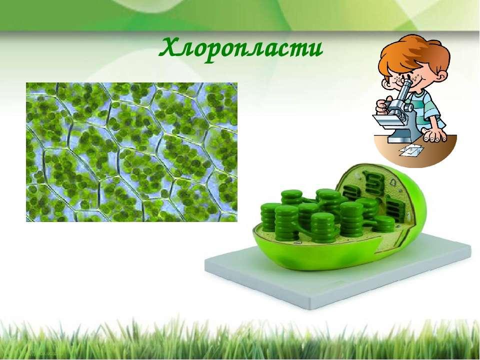 Хлоропласти