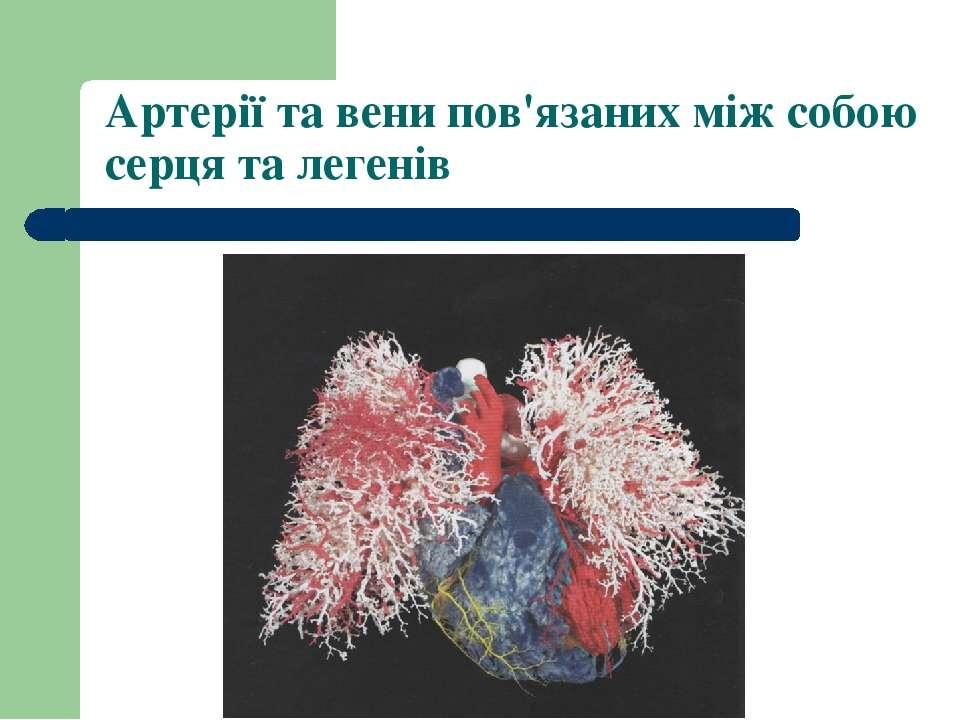 Артерії та вени пов'язаних між собою серця та легенів