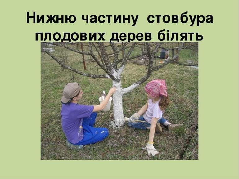Нижню частину стовбура плодових дерев білять вапном.