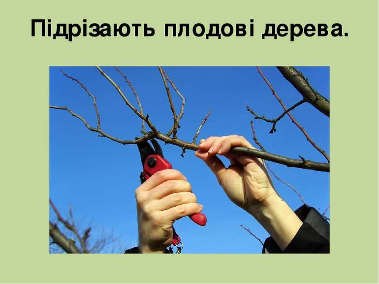 Підрізають плодові дерева.