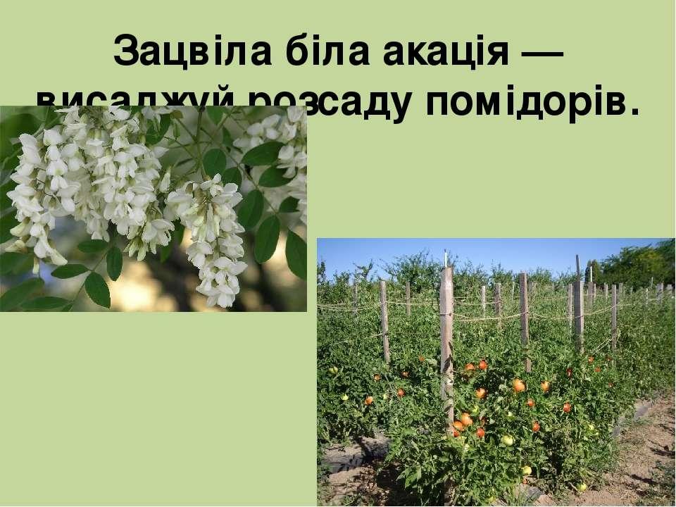 Зацвіла біла акація — висаджуй розсаду помідорів.