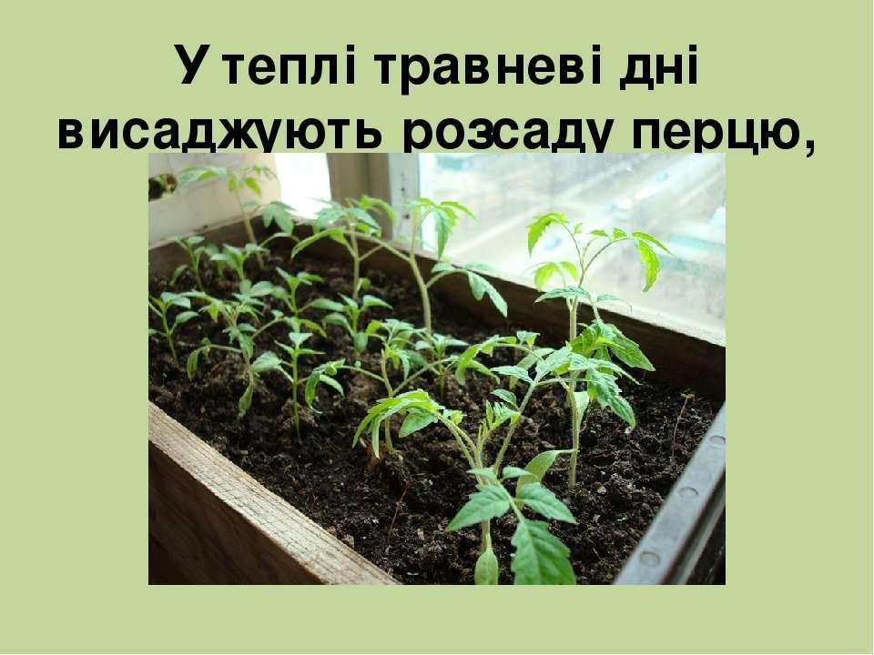 У теплі травневі дні висаджують розсаду перцю, помідорів, капусти.