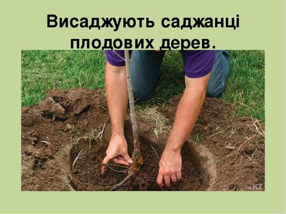 Висаджують саджанці плодових дерев.