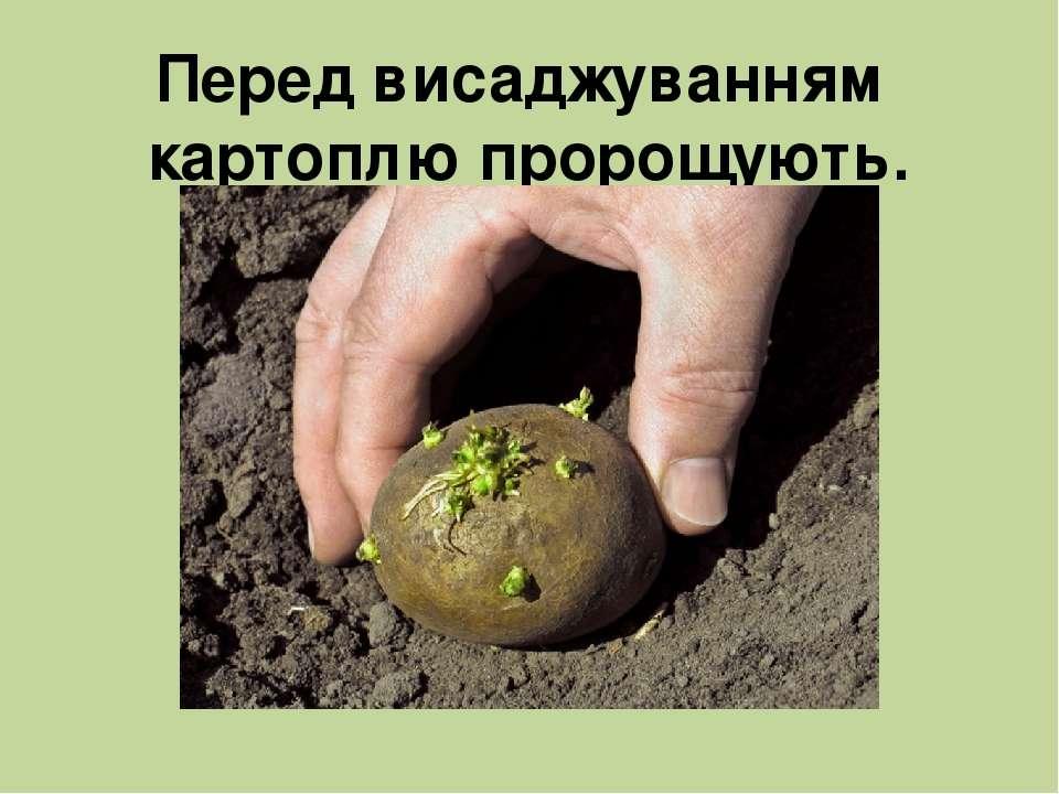 Перед висаджуванням картоплю пророщують.