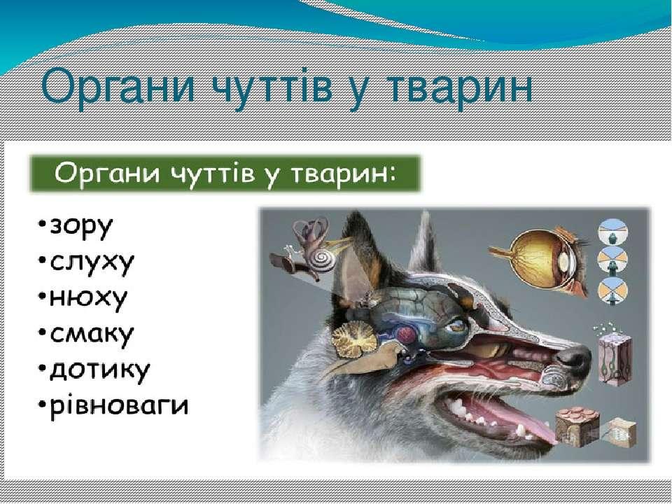 Органи чуттів у тварин