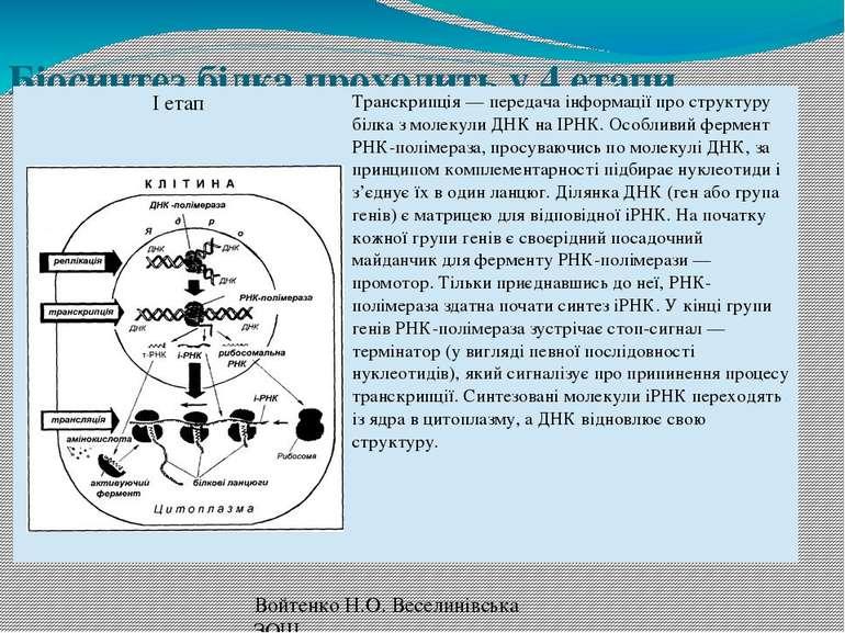Біосинтез білка проходить у 4 етапи. Войтенко Н.О. Веселинівська ЗОШ Іетап Тр...