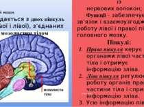 Кінцевий мозок Мозолисте тіло складається із нервових волокон; Функції - забе...
