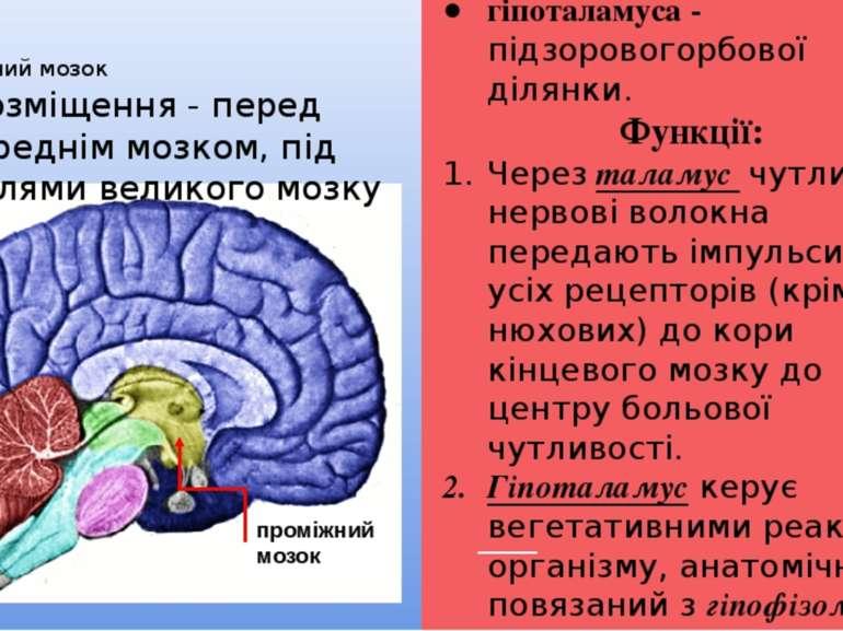 Проміжний мозок Проміжний мозок складається із таламуса - зорових горбів; гіп...