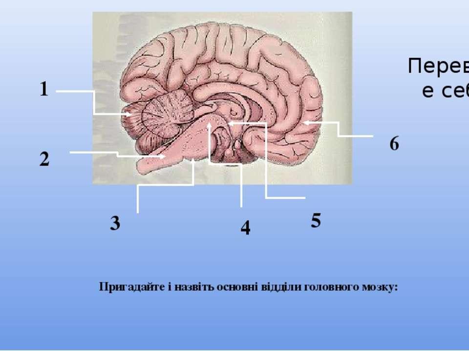 Пригадайте і назвіть основні відділи головного мозку: 1 2 3 4 5 6 Перевірте себе