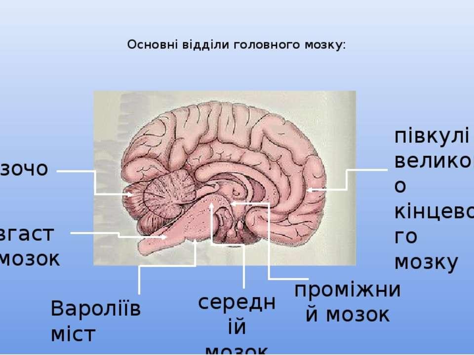 Основні відділи головного мозку: мозочок довгастий мозок Вароліїв міст середн...
